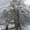 Manzano nevado