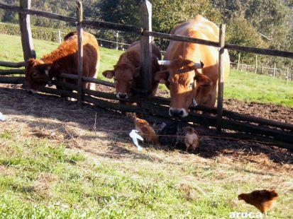 pites y vaques