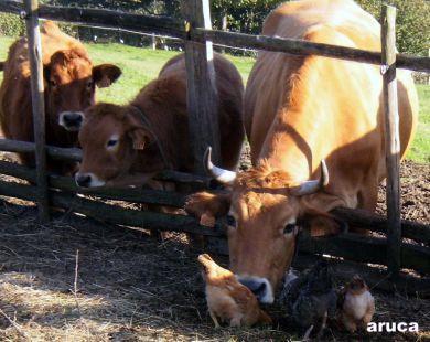 vaques y pites