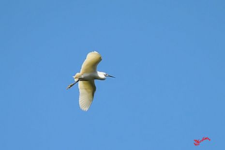 Garza común en vuelo