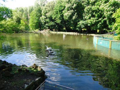 El cortejo de los cisnes