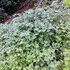 plantacion frutal de Uchuva